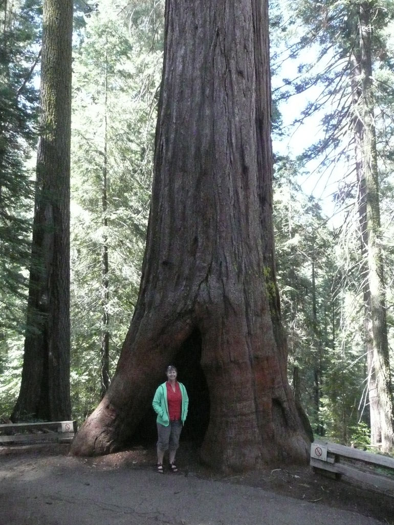 Giant Sequoia - San Francisco