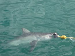 Photo of Cape Town Cage Diving with Great White Sharks from Cape Town What to expect