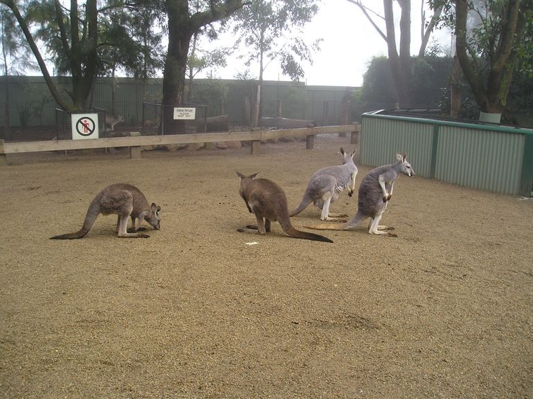 Blue Mountains Day Trip - Kangaroos - Sydney