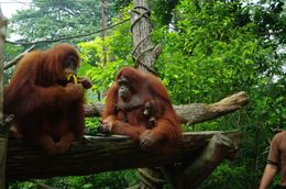 Newlyweds, breakfast with Orangutans, Singapore Zoo - hope this isn't our new family - May 2011