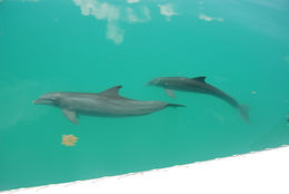 Photo of Key West Key West Shark and Wildlife Catamaran Tour Dolphins off bow of the boat