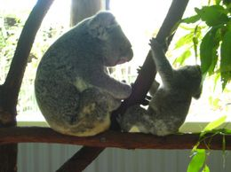 Make sure to visit the area for new moms and baby koalas. It's adorable to see them interact! - September 2009