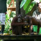 Photo of Kota Kinabalu Sandakan Sepilok Orang Utan Rehabilitation Center Full-Day Trip from Kota Kinabalu Orangutans at Sepilok