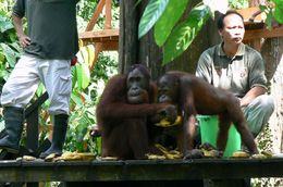 Orangutans at Sepilok on the feeding platform., Michael P - June 2008