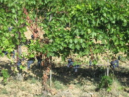 Photo of Rome Tuscany in One Day Sightseeing Tour from Rome The Tuscan grapes