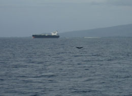 Whale tail in front of us!, Bandit - February 2011