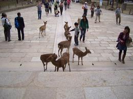 You can buy deer cookies in Nara, they are not afraid to let you know they want one...you have to be strategically smarter... , Warren C - November 2011