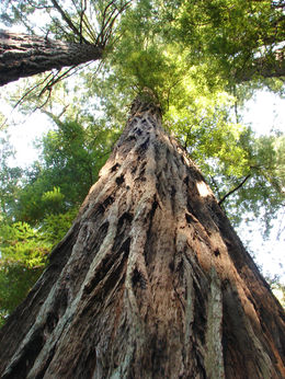 Photo of San Francisco Muir Woods, Giant Redwoods and Sausalito Half-Day Trip Giant Redwood!!!