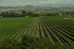 Photo of San Francisco San Francisco Super Saver: Muir Woods and Wine Country Tour Grapes