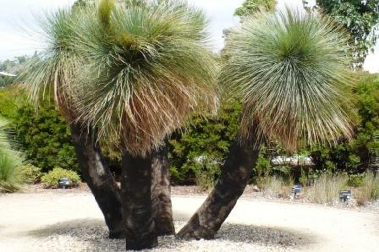 Grass trees at the Gardens - Melbourne