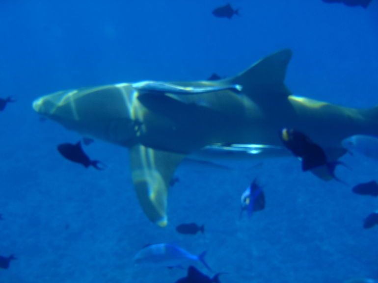 This is the lemon shark that bit me on the tour
