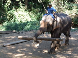 Elephant demostrating logging technique , Del - January 2011