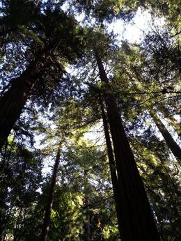 Upward view of the Giant Redwoods at Muir Woods , Jimmy S - October 2013