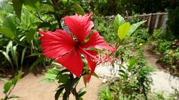 The flower that the locals say welcomes you to the Dominican Republic. , Allan - September 2015