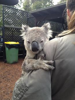 Photo of Sydney Hunter Valley Wineries and Wilderness Small-Group Tour Meeting a sleepy koala