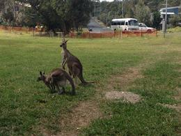 Photo of Brisbane Stradbroke Island Day Trip from Brisbane Kangaroos in Town!
