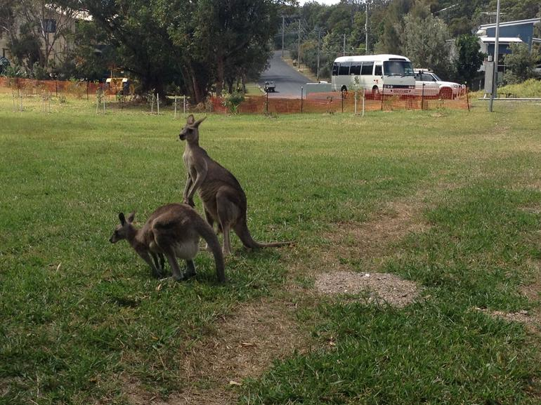 Kangaroos in Town! - Brisbane