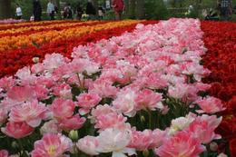 Photo of Amsterdam Keukenhof Gardens and Tulip Fields Tour from Amsterdam banks of colour