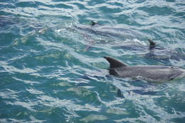 A picture of the dolphins as people were entering the water to accompany their swimming , Donald B - November 2014