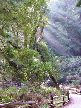 Photo of San Francisco San Francisco Departure Transfer: from Hotels Sun beams coming through the trees during the Muir Woods Tour