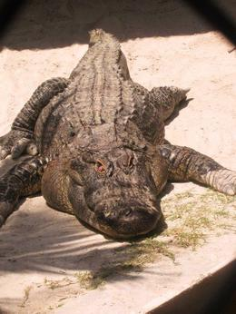 Photo of Miami Miami Everglades Airboat Adventure with Biscayne Bay Cruise Miami Everglades Alligators