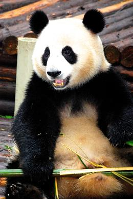 Photo of   Panda enjoyimg his home