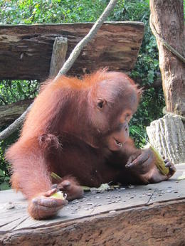 Photo of Singapore Singapore Zoo Morning Tour with optional Jungle Breakfast amongst Orangutans So close to this beautiful little guy ...