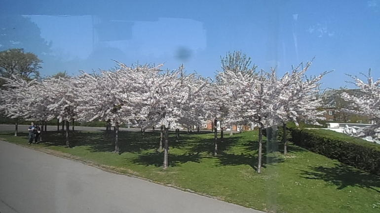 Cherry Blossoms - Copenhagen