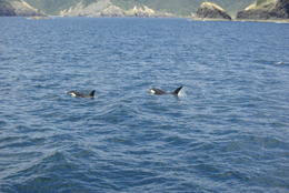 Photo of   Orcas