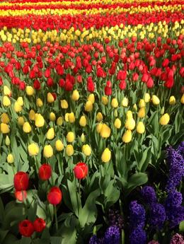 Photo of Amsterdam Keukenhof Gardens and Tulip Fields Tour from Amsterdam Flowers for miles