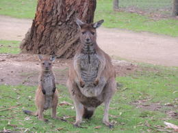 Mom and baby kangaroo in Ballarat Wildlife Park. , Kevin F - June 2014