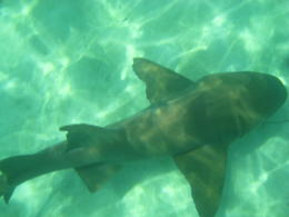 Sharks were bigger than I expected! , mceuba - July 2012