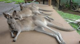 these roo's were very friendly and were lazing around like my dogs at home., Julie M - May 2010