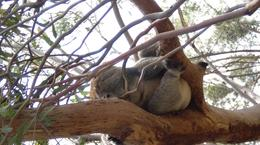 Photo of Victoria Phillip Island 3 Parks Pass - Penguin Parade and more! Koala