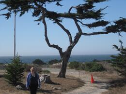 Photo of   Monterey tree