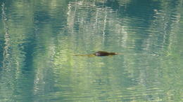 This is a wild platypus swing in the blue lake , Mary B - August 2014