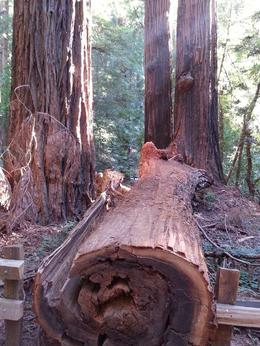 Fallen redwood showing age rings , Jimmy S - October 2013