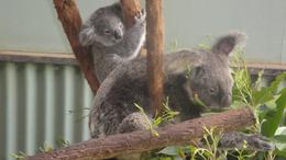 koalas just look like you could just give them a big cuddle they are only awake for 4 hours a day to feed., Julie M - May 2010
