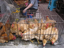 Chickens in the market. , Tstone7330 - April 2012