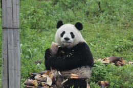 Photo of Xian Private Tour of China's National Treasures: Giant Pandas and Terracotta Warriors in Xi'an Breakfast