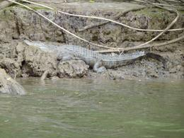 Photo of Cairns & the Tropical North Daintree and Cape Tribulation 4WD Tour from Cairns Crocodile on the Daintree River
