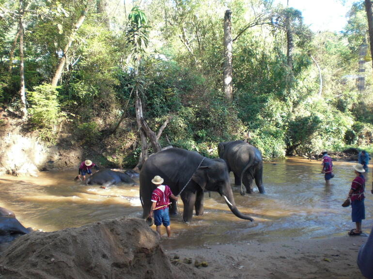 Elephant bathing - Chiang Rai