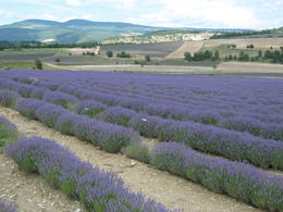 Photo of Avignon Small Group Provence and Lavender Museum Day Trip from Avignon Another Lavender field