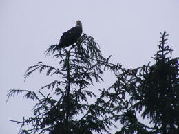 This is the eagle that landed about 10 yards away as we stood on the bridge watching the salmon spawn run. , eyesonchrist - July 2014
