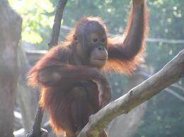 Photo of Singapore Singapore Zoo Morning Tour with optional Jungle Breakfast amongst Orangutans breeky with the apes
