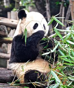 Photo of   Panda Enjoying his home turf