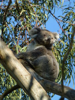 A rare sight of an alert koala! , John K - September 2014