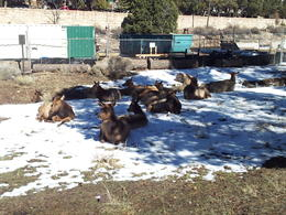 Elk chilling out near the railway station. , Jeff K - February 2013