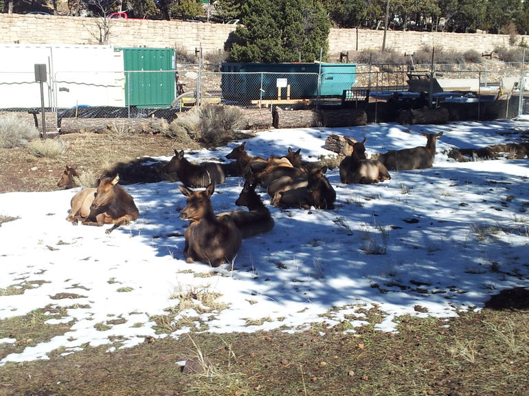 Elk cooling off, Grand Canyon Village - Phoenix