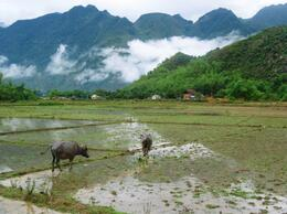 Farmer, buffalo and rice field, Bing - April 2013